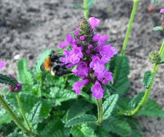 Betonie - Stachys officinalis
